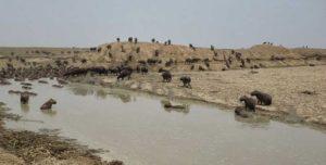 Capybaras cherchant désespérément un point d'eau