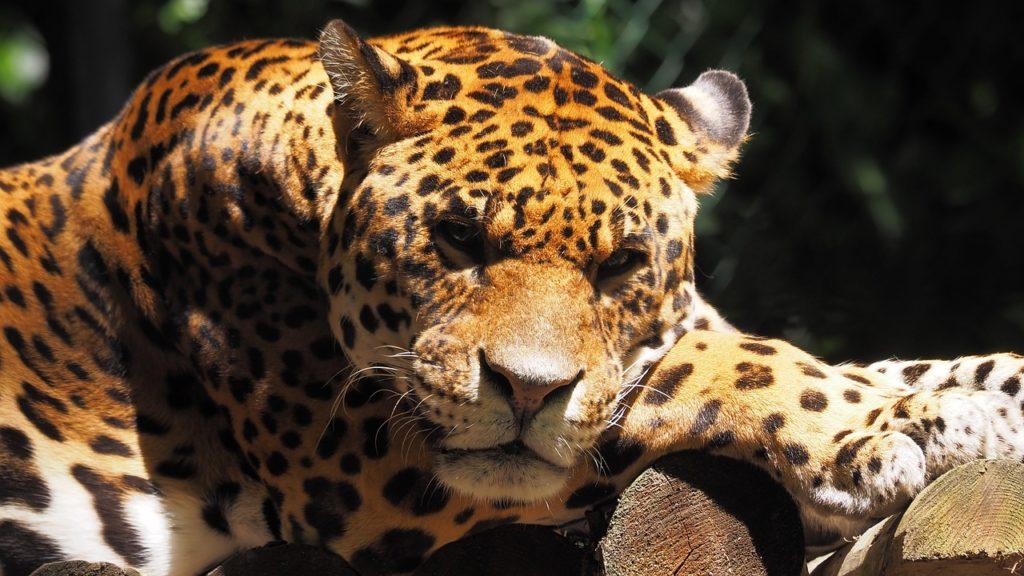 Le jaguar d'Amazonie menacé par la destruction de son environnement.