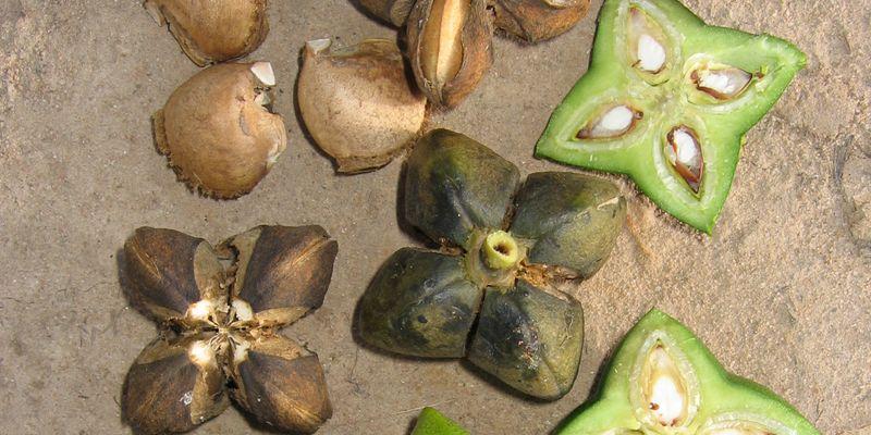 Graines de Sacha Inchi produisant l'huile d'Inca Inchi riche en omégas.